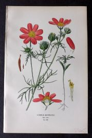 Step 1896 Antique Botanical Print. Cosmos Bipinnatus 142